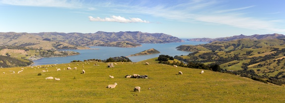Sheep over the bay, New Zealand