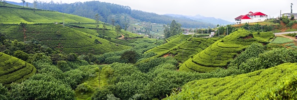 Tea plantation in the mountains of Sri Lanka